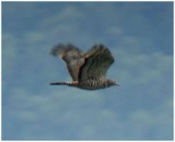 ハチクマ雄成鳥