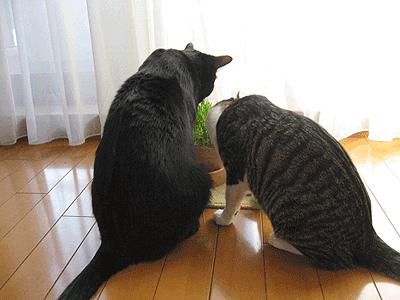 猫草おいしいです