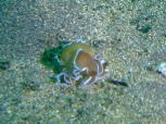 貝がら付きのウミウシ Photo by ATOBEさん