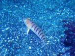 オキドラギス ほんとは深場の生物です! Photo by かりん