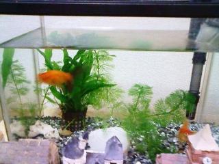 金魚003