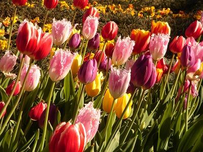 花の国チューリップ1
