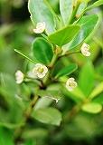 イヌツゲの花
