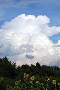 入道雲を眺めるひまわり