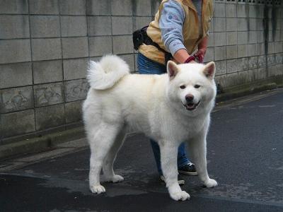 おともだち秋田犬
