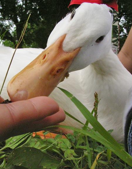 08-6-21-duck4.jpg