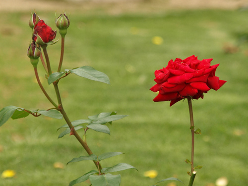 08-6-4-rose1.jpg