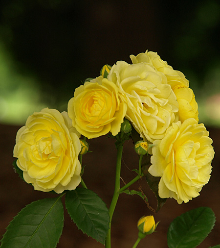 08-6-4-rose2.jpg