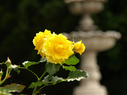08-6-4-rose3.jpg