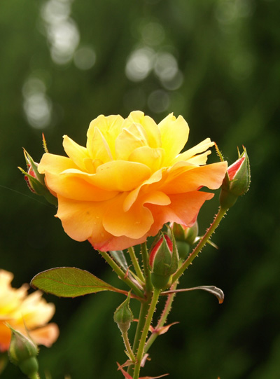 08-6-4-rose4.jpg