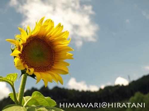 08-8-9-himawari2.jpg