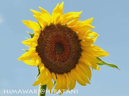 08-8-9-himawari3.jpg