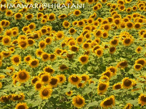 08-8-9-himawari4.jpg