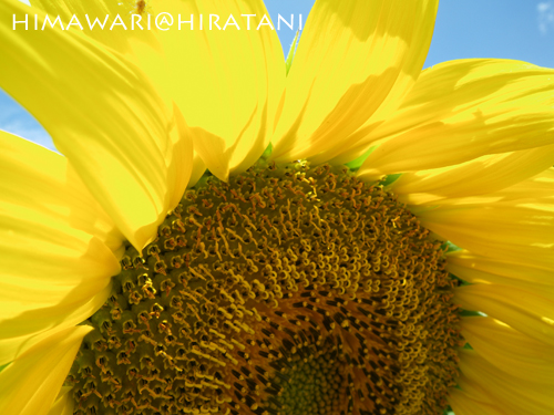 08-8-9-himawari7.jpg
