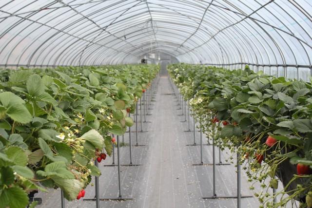 イチゴ農園に来たぞぉー