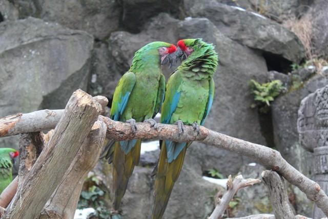 コンゴウインコ緑2