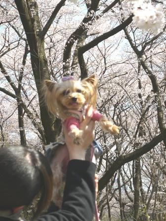 ノンたんと桜