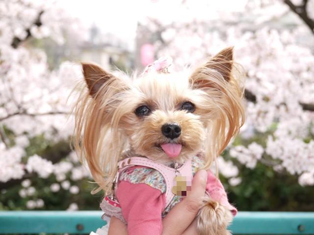 桜だいしゅき①
