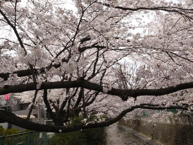 川沿いに桜2