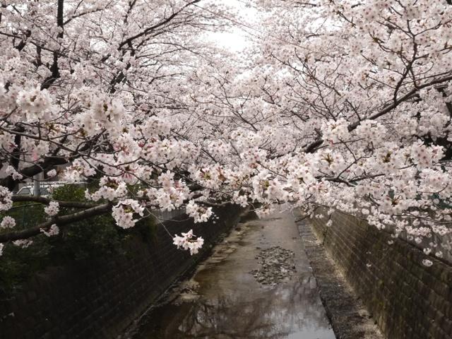 川沿いに桜1