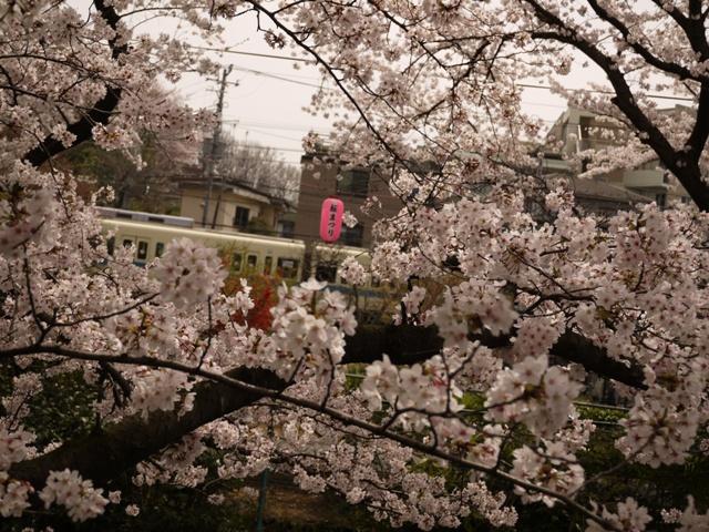 小田急線沿いの桜