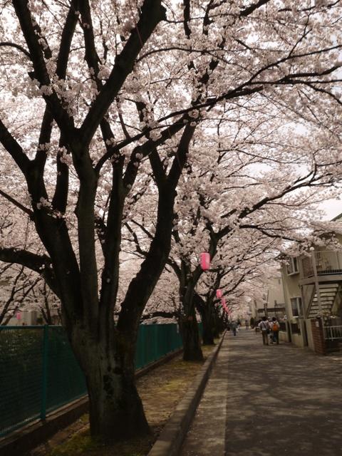 ながーい川沿いの桜並木