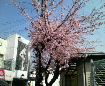 桜が咲いてしまいました。