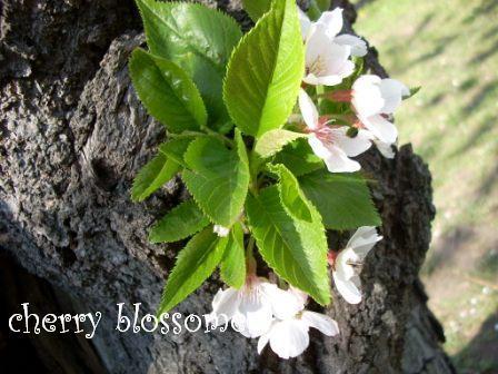 2009☆桜