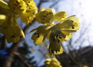 セルリアンの花1