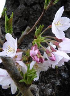 2012桜in八雲1