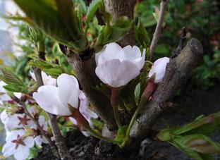2012桜in八雲2