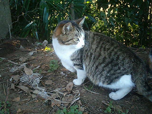 畑猫 キジ白
