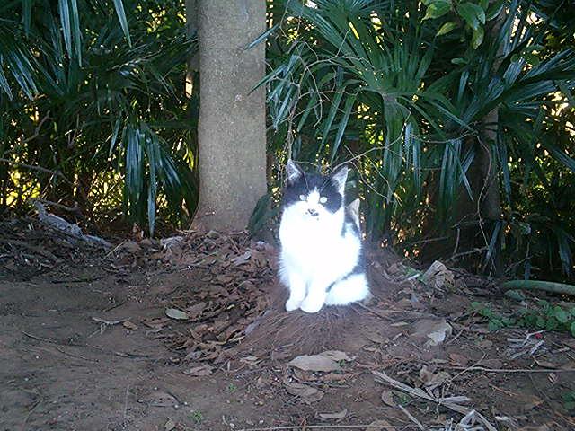 畑猫 仔猫 黒白♀
