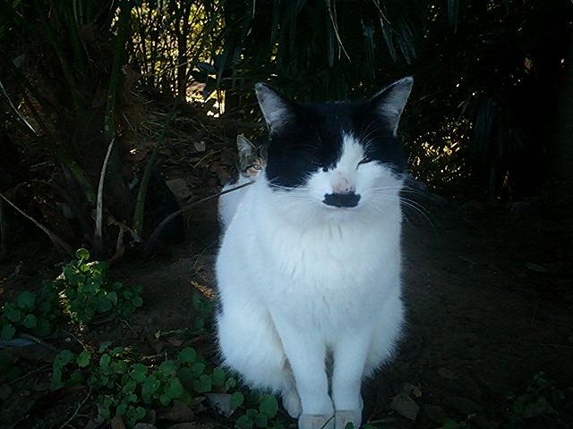 畑猫 白黒