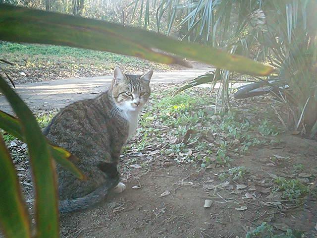 畑猫 キジ白1