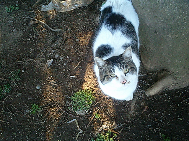畑猫 白キジブチ♀