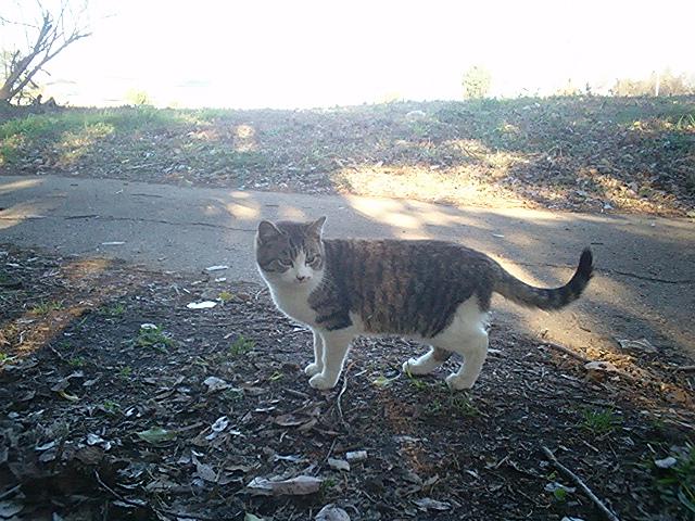 畑猫 キジ白2