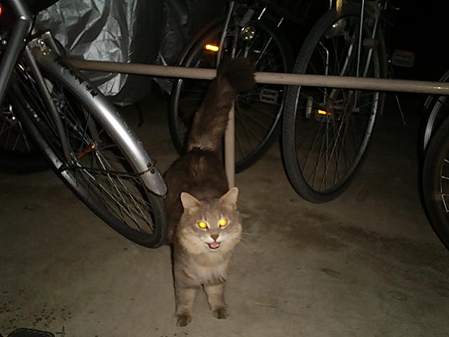 住宅猫 トラ♂