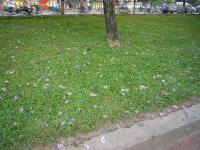 ハノイ花盛りバンラン2