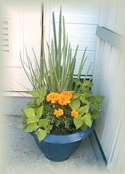 葱と三つ葉とマリーゴールドの寄せ植え