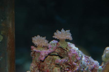 サンゴイソギン1