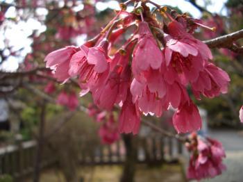 寒緋桜かんひザクラだったかな?