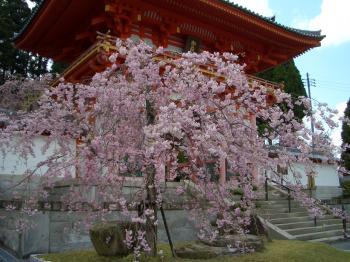 入り口の枝垂桜