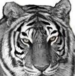 20071015_tiger_c.jpg