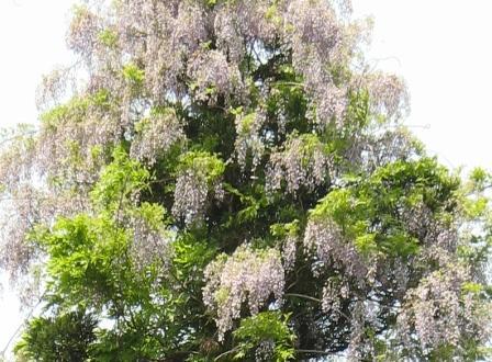 山都:藤の花