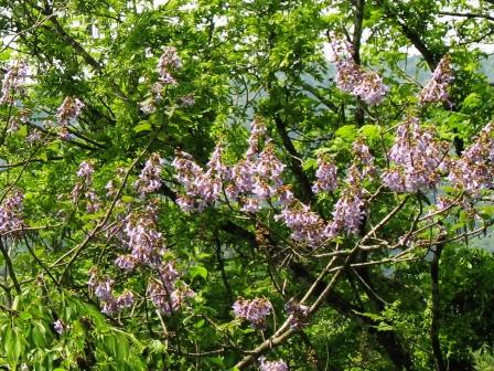 山都:桐の花