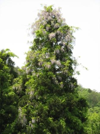 山都:藤の木