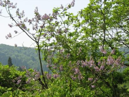 山都:桐の木