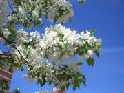 crabappleblossoms.jpg