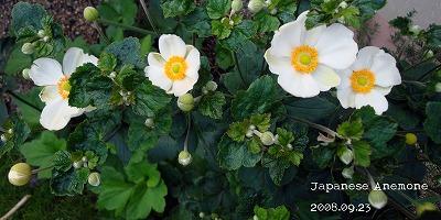 白も次々開花♪